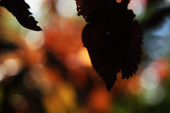 Leaves 012 (Ethan Sztuhar) Tags: red sun blur leaves closeup focus warm close bokeh sony a33 alpha