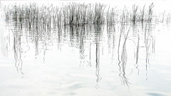 Clnica semiolgica :) (Miss Mandarina) Tags: blackandwhite bw lake abstract reflection primavera blancoynegro topf25 water lago spring topf50 agua topf75 eau lac catalonia bn reflet reflejo highkey catalunya abstraction abstracto printemps aigua catalua juncos llac blancinegre reflexe jonc banyoles estany catalogne blancetnoir baolas abstraccin abstrao abstracte clavealta 2013 astrazione pladelestany provinciadegirona sonydsch20 missmandarina