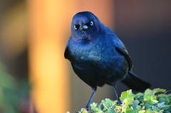 Angry Bird (sonstroem) Tags: sanfrancisco wallpaper blackbird brewersblackbird euphaguscyanocephalus