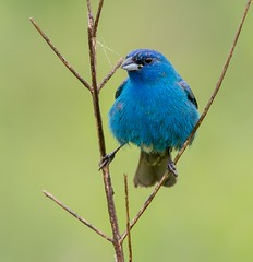 Indigo Bunting (snooker2009) Tags: blue summer bird nature birds sunrise outdoors spring wildlife small indigo getty bluebird migration bunting thewonderfulworldofbirds photocontesttnc12 dailynaturetnc12 photoofthedaynwf12