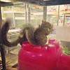 Swishy tails (liquidnight) Tags: cameraphone camera travel rescue chicago cute animals grey illinois squirrels wildlife gray glenellyn visit kawaii awww rodents tails rehab rodentia swishy iphone rehabilitation sciuruscarolinensis easterngreysquirrel willowbrookwildlifecenter iphone5 iphoneography instagram uploaded:by=flickrmobile flickriosapp:filter=nofilter arborealrodents