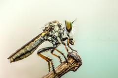P.R.E.D.A.T.O.R.S (Sam Kranz) Tags: macro nature animal closeup bug insect fly nikon kitlens tiny micro malaysia ants robberfly smallworld smallanimal 1855mmf3556 artofnature inserct d7000 samkranz