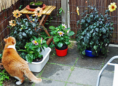 Scully meets the Dahlias. (Athanassia) Tags: white cat ginger kat tabby rood wit scully ticked