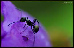 I'm King (VERODAR) Tags: nature insect nikon wildlife ant sarawak borneo blackant nikond5000 samarindah verodar veronicasridar