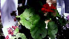 110209-120317-001 (Arie Koelewyn) Tags: insect fisheye katydid littlecyclops