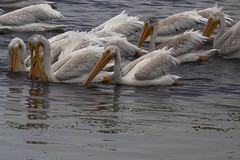 White Pelicans Eating #2 (Tom Moyer Photography) Tags: california pelicans sonomacounty americanwhitepelicans