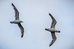 Chasing that fish (semgeerts) Tags: fish birds canon germany island seagull 18 tamron chasing 200mm helgoland