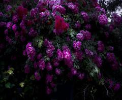 ... ancora d'un fiore che disfiora, e non avrà domani... (UBU ♛) Tags: blues ©ubu blutristezza unamusicaintesta landscapeinblues luciombreepiccolicristalli