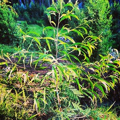 Planted this beautiful koa (acacia koa) in Kula, Maui yesterday in memory of someone who passed away.