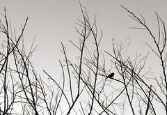 Piu (rod amaru) Tags: brazil sky urban blackandwhite bw tree birds sticks pssaro pb tapes rs rvore galhos pretoebranco riograndedosul costadoce