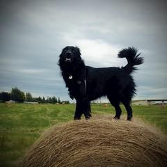 King of the hay bale (bratli) Tags: summer dog edmonton canine alberta hay bale deacon bratli