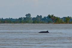We Got One (iamfisheye) Tags: water river asian cambodia dolphin border fresh dolphins laos mekong freshwater 4000islands olympuse3 laos2012 banhangkhon