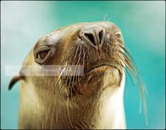 FOCA / Proud Seal (Daniel Hernanz Ramos) Tags: foca danielhernanz animalspictures animaleyecontact danielhernanzfotografodemadrid artisticanimalpictures allrightsreservedinallmypicturesdontusewithoutmypermission copyrightdanihernanz animaldetailpictures animalsfacetoface closeupanimalpictures beautifullandscapespictures sealeyecontact