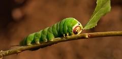 Una oruguita verde :-) (T.I.T.A.) Tags: macro tita oruga cerura orugaverde carmensolla ceruraibérica sinosfijamosbientieneunacarafeadenarices carmensollafotografía carmensollaimágenes