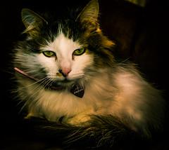 Tilly (The neighbours 3-legged cat) (Cross Process Effect) (Panasonic LX100) (markdbaynham) Tags: leica pet cute cat lens lumix feline cross zoom panasonic ft process effect tilly 43rd compact 3legged lx pany evf fourthird lx100 2475mm f1728