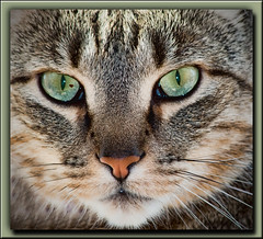 The Look of Green (gtncats) Tags: pet cat nose eyes feline tabby greeneyes ef70300mm felineportrait canon70d felinefaces photographyforrecreation infinitexposure