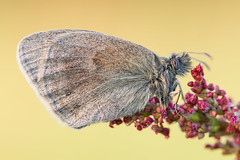 Coenonympha pamphilus (Prajzner) Tags: macro nature butterfly tripod sigma naturallight manfrotto sigma105mmmacro coenonymphapamphilus smallheath subcarpathia nikond7100 manfrottomt190xpro3