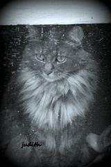 watching through the screen (judecat (mostly hibernating))) Tags: cat feline sally angora longhairedcat