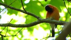 camachuelo comun Pyrrhula pyrrhula bullfinch (Maflay28) Tags: comun bullfinch pyrrhula camachuelo