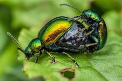 Green Dock Beetles mating (steb1) Tags: macro insect beetle canonmpe65mm coleoptera chrysomelidae 2015 chrysomelid greendockbeetle gastrophysviridula concavediffuser greenfieldsnaturereserve yongnuoyn14ex