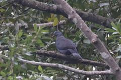 Pigeon de Bolle (Columba bollii) (adrien2008) Tags: pigeon de bolle columba bollii