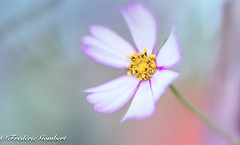 sweet world (frederic.gombert) Tags: flower flowers cosmos plant garden pink blue yellow heart color colors nikon macro d800 1001nights 1001 nights magic city 1001nightsmagiccity