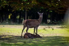 Red Deer Pair (Natural Photography by CJH) Tags: reddeer deer wild wildlife natural nature nikon d750 telephoto 300mm pf f4 300mmf4 300f4 nikkor teleconverter tc17eii pfedvr