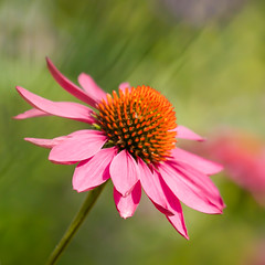 Coneflower (paulapics2) Tags: coneflower echinacea pink blumen floral flora bokeh fleur canoneos5dmarkiii canonef70300mm