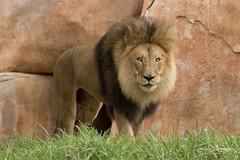 M'bari (ToddLahman) Tags: mbari lion lions lioncamp escondido sandiegozoosafaripark safaripark canon7dmkii canon canon100400