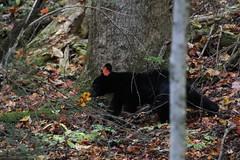 Bear-ly Fall (bbosica20) Tags: elkmont greatsmokymountains tennessee mammal blackbear bear