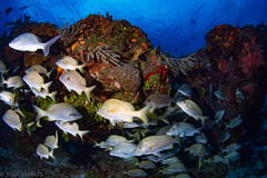 A Scattering School (jcl8888) Tags: scuba diving fish school nikon d7200 tokina 1017mm cozumel mexico travel adventure underwater ocean sea saltwater marine life alive coral reef