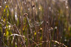 The webs that spiders throw (Nanny Bean) Tags: northyorkmoors mist autumn cobweb bokeh backlit reed
