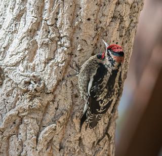 Red-naped Sapsucker, Male