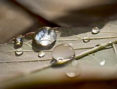autumn drops (marianna_a.) Tags: water drop droplet leaf autumn fall macro meniscus bug tiny cute surprise serendipity mariannaarmata