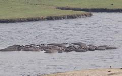 Hippos (José Rambaud) Tags: hippopotamus hippo hipopotamo chobe rio river animals wild wildlife naturaleza nature botswana africa