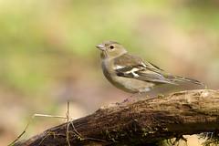 Pinson des arbres (Tifaeris) Tags: commonchaffinch fringillacoelebs fringillidã©s passã©riformes pinsondesarbres bird oiseau