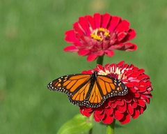 Too pretty to leave (KsCattails) Tags: butterfly fall kscattails monarch nature overlandparkarboretum zinnia