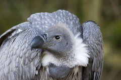 Vulture (michel1276) Tags: greifvogel bird vogel vulture geier tier animal outdoor canon