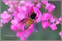 6504 - honey bee (chandrasekaran a) Tags: honeybee bee insects nature india chennai canon60d honalulu creeper flowers tamron90mm macro