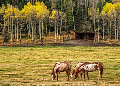 Fall in Jackson Hole (Bob C Images) Tags: horses fall foliage trees aspens jacksonhole wyoming travel autumn landscapes