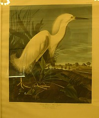 """White Egret"" Audubon Elephant Folio Bird Print""   --   IMG_20161027_031952 (mshnaya ) Tags: heron white snowy egret audubon elephant portfolio birds america art hand color print new bedford free public library massachusetts narragansett bay nature flora tree woods outdoor flickr picture photo photography candid leicac leica point shoot camera"