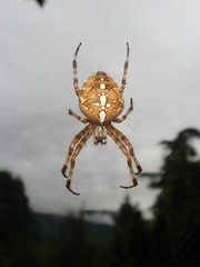 Common_Garden_Spider_at_La_Maison_de_Fifine_2 (Abbey_L) Tags: alps animal commongardenspider day6aftertheendoftheworld france frenchalps lamaisondefifine outbreakadventure samoens spider tjpio