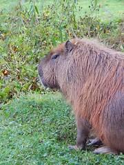 Martha the serious (Sharon B Mott) Tags: capybara animal october yorkshirewildlifepark