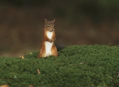 Red Squirrel - Again!! (Louise Morris (looloobey)) Tags: aq7i0255 squirrel red sciurrusvulgaris moss bank sscotland september2016 gordon hide weekend woodland light manual