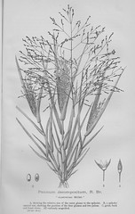 Australian Millet - New South Wales, The Mother Colony 1896 (AndyBrii) Tags: nsw newsouthwales 1896 frankhutchinson sydney