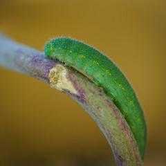 Caterpillar (ninfaj) Tags: macro sonyfe90mmf28 sonyalpha7ii bug insect insects close orange green animals nature