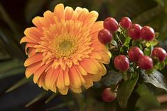Floral (Nick.Ramsey) Tags: canonefs1755mmusm eos7dmarkii flower plant red berries orange yellow 7dwf fridayflora flora wtc weeklythemechallenge asingleflower