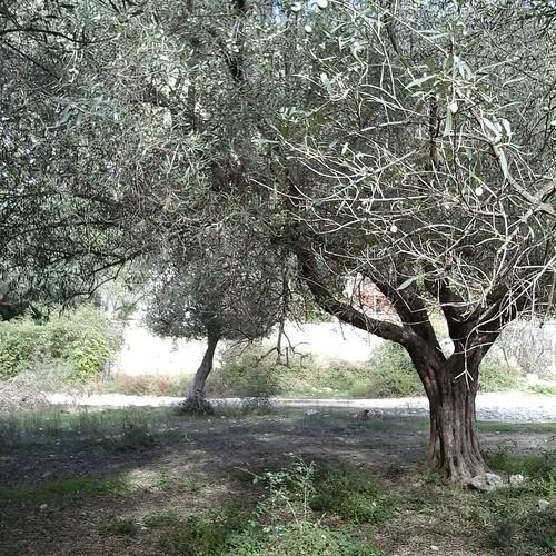 Qeparo olive tree