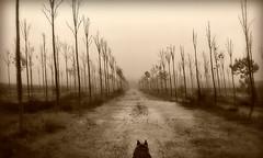 My way (nosololuz) Tags: camino way perro lobo invierno niebla rboles virado blancoynegro blackandwhite riberadebre lillabenissanet nosololuz