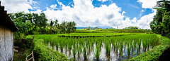 Arrozales de Jatiluwith (fns-k) Tags: agricultura arroz asia bali campo campos cereales españa europa gusto indonesia islasbaleares mallorca palmera panorámica sentidos planta árbol
